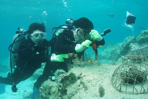 サンゴの植付